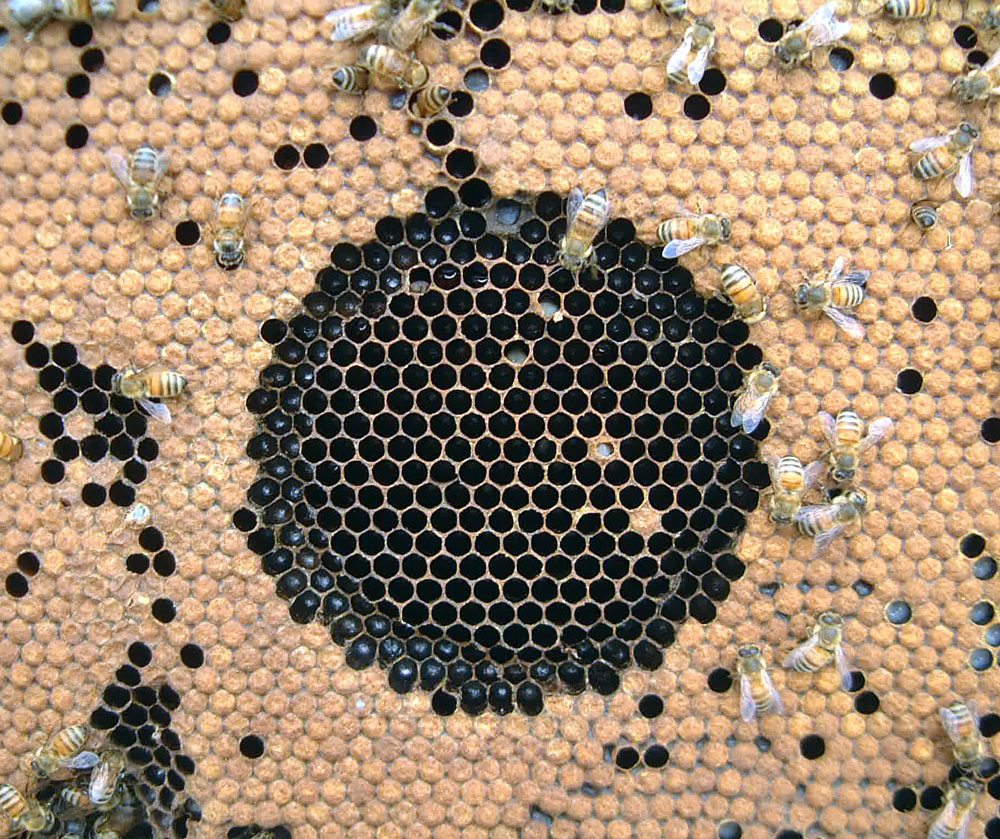 An example of a hygienic bee colony