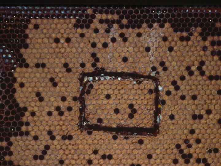 FIGURE 2. A comb section of sealed brood containing approximately 100 cells on each side was cut out of the comb, frozen for at least 24 hours, and replaced in the hole left in the comb.