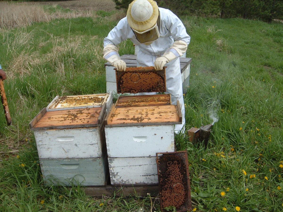 Testing Honey Bee Colonies for Hygienic Behavior