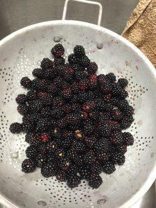 Primocane blackberries