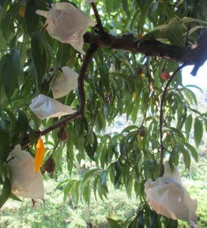Bagged peaches