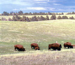 Nutritional tests on meat from Buffalo Groves in Colorado found the cuts were significantly lower in calories and cholesterol than grain-fed bison meat, providing a marketing angle for David and Marlene Groves.
