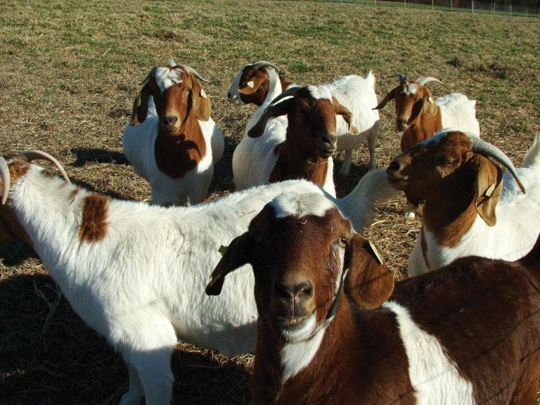 photo of goat case study
