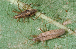Hemiptera: Nadibae Damsel bug   (Nabis alternatus)