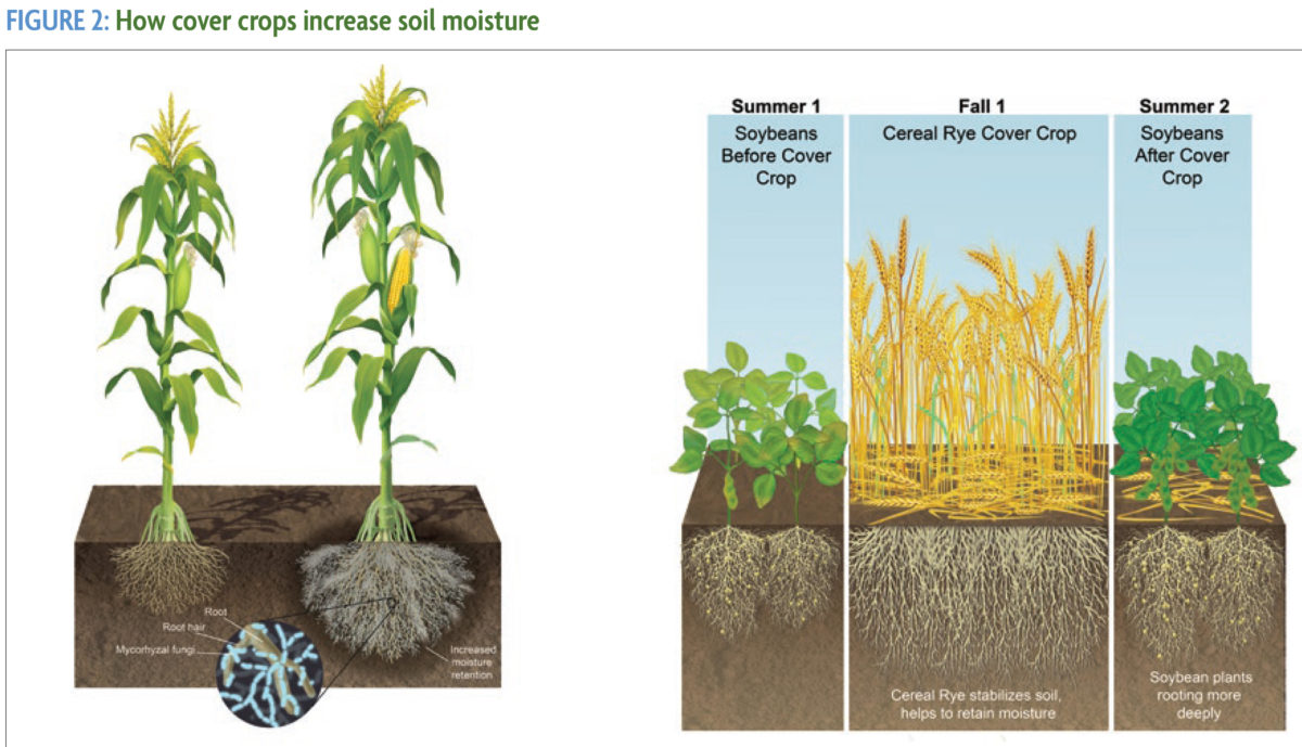 Two figures showing corn roots and soybean roots