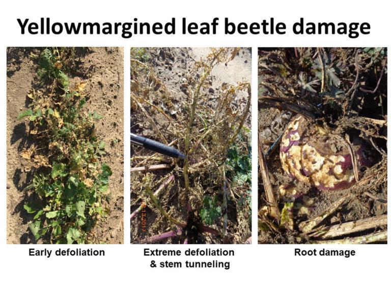 Yellowmargined leaf beetl damage