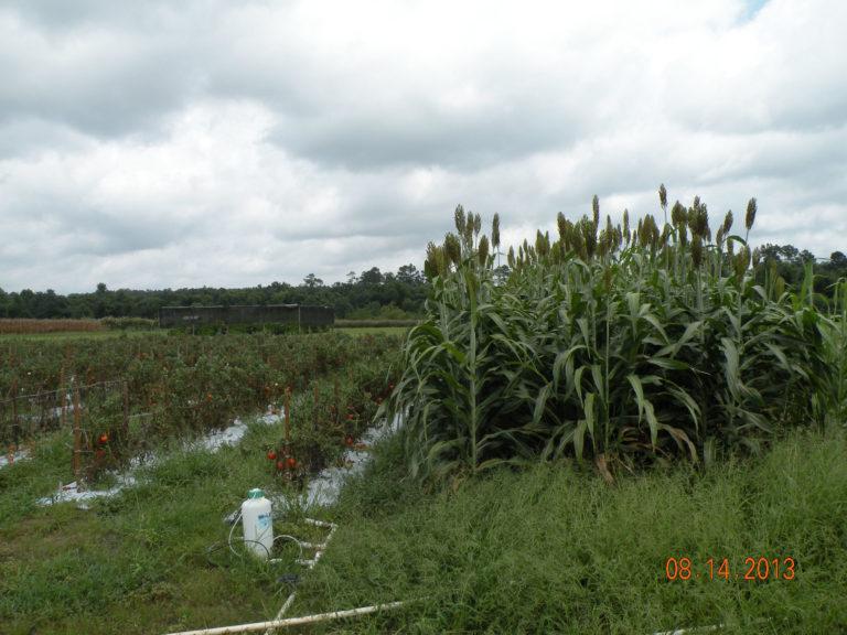 Basic perimeter trap crop layout