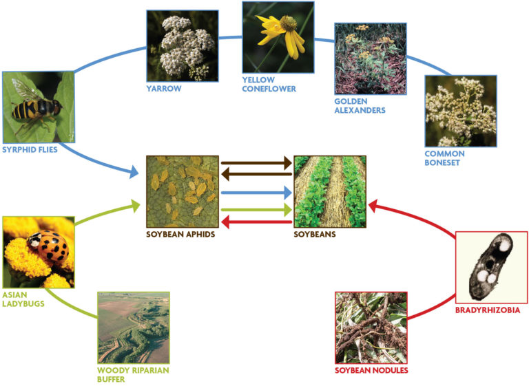 Figure 1.1. Concept map of ecological mechanisms that could be used to manage soybean aphids in corn–soybean systems in the Midwest.
