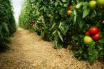Tomatoes and Mulch