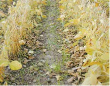 Figure 10.7. Winter rye interseeded with maturing soybeans.