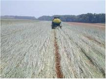 Figure 16.1. Rolled-rye cover crop being prepared for row-crop planting.