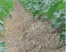Figure 17.11. No-till irrigated vegetables grown on beds with cover crop mulch. Drip irrigation lines are placed at 1–2 inches depth in the beds (not visible).