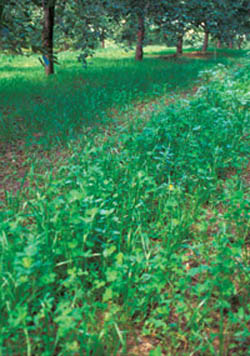 Season-long populations of beneficial mites were attributed to the use of a red clover cover crop.
