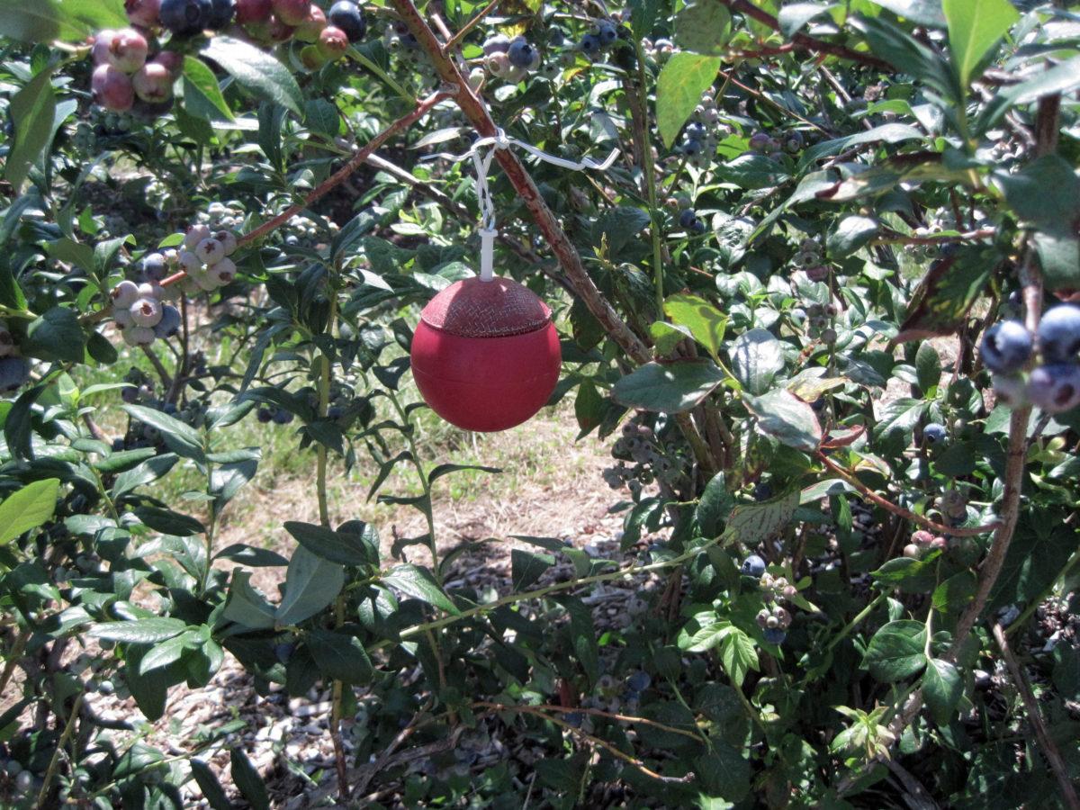 Pest Trap Blueberries