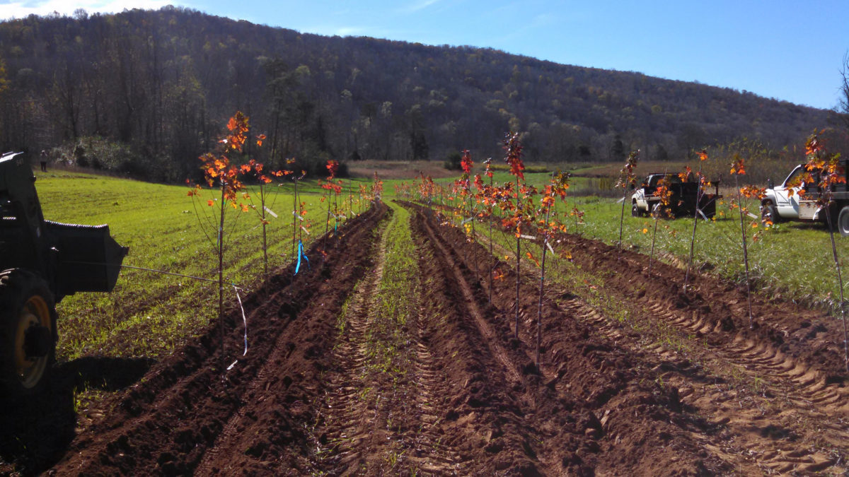Maple Trees and Cover Crops