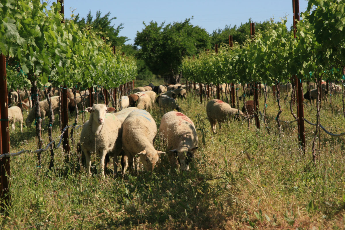 Sheep Grazing Vineyard