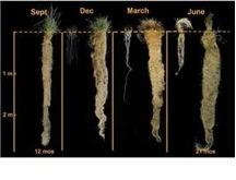 Figure 3.2. Root systems of annual wheat (at left in each panel) and wheatgrass, a perennial, at four times of the year. Approximately 25% to 40% of the wheatgrass root system dies back each year, adding considerable amounts of organic matter, and then grows back again. Compared to annual wheat, it has a longer growing season and has much more growth both above ground and below ground. Wheatgrass was 12 and 21 months old when the first and last photos were taken.