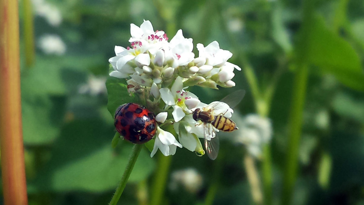 Lady Beetle and Hoverfly on Buckwheat