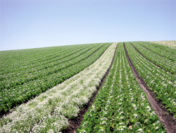 A corridor of Alyssum acts as a highway of habitat drawing beneficial insects into this large field of lettuce.