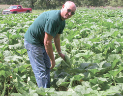 Randy Blackmer examines pumpkins planted as a trap crop to draw cucumber beetles away from squash on his Connecticut farm.