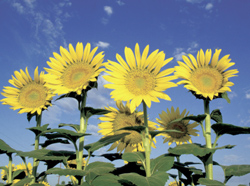 Sunflowers in California vineyard draw the leafhopper egg wasp, a parasite of the grape leafhopper.