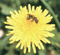 Dandelions are an important early-season source of nectar and pollen for beneficial insects.