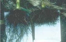 Figure 5.7. Corn roots on the right were limited to the plow layer due to a severe compaction pan. Roots on the left penetrated into deeper soil following subsoiling and could access more water and nutrients