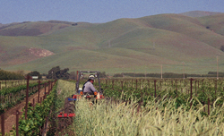 Growing rye between vineyard rows suppresses weeds and attracts beneficial insects such as lady beetles to this Monterey County, Calif., vineyard.