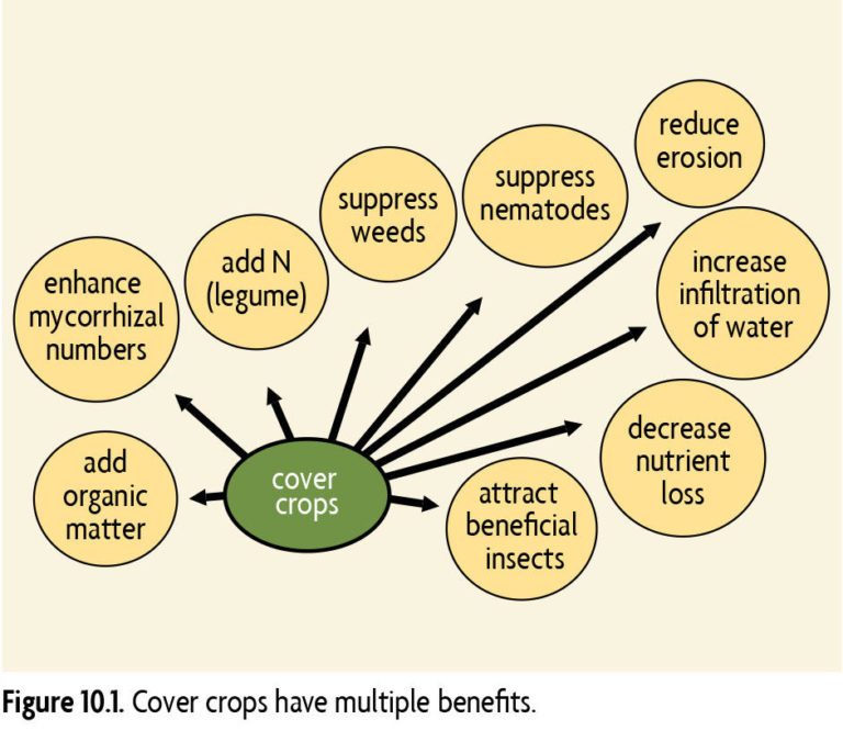 Cover crops have multiple benefits
