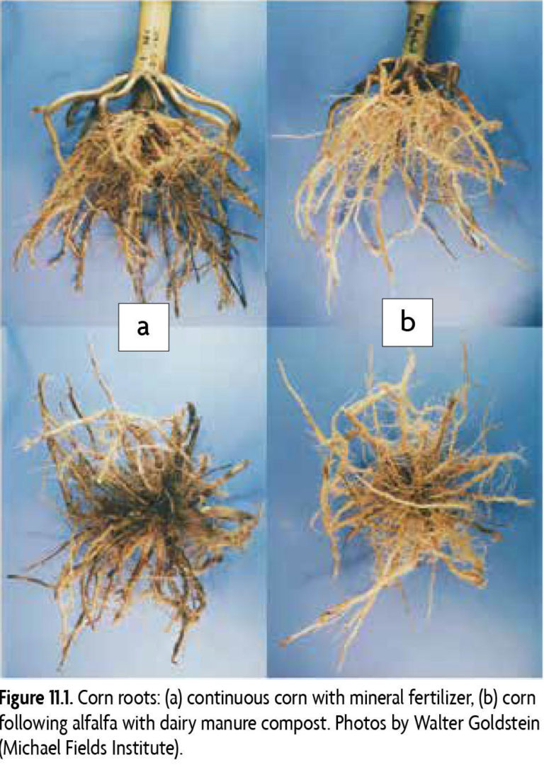 Figure 11.1 Corn roots: (a) continuous corn with mineral fertilizer, (b) corn following alfalfa with dairy manure compost. Photos by Walter Goldstein [Michael Fields Institute]