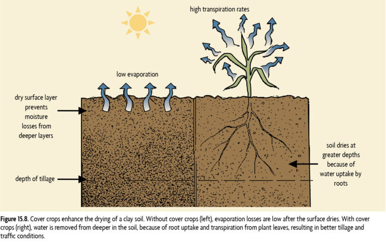 15.8 Cover crops enhance the drying of a clay soil. Without cover crops (left), evaporation losses are low after the surface dries. With cover crops (right), water is removed from deeper in the soil, because of root uptake and transpiration from plant leaves, resulting in better tillage and traffic conditions.