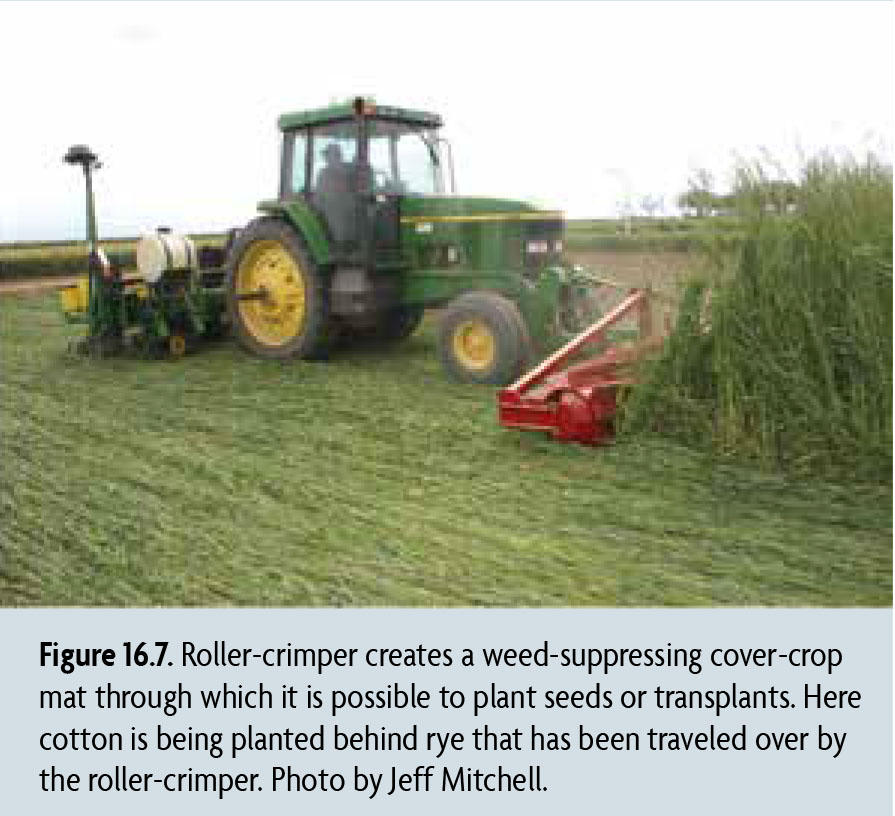 Figure 16.7. Roller-crimper creates a weed-suppressing cover-crop mat through which it is possible to plant seeds or transplants. Here cotton is being planted behind rye that has been traveled over by the roller-crimper. Photo by Jeff Mitchell.