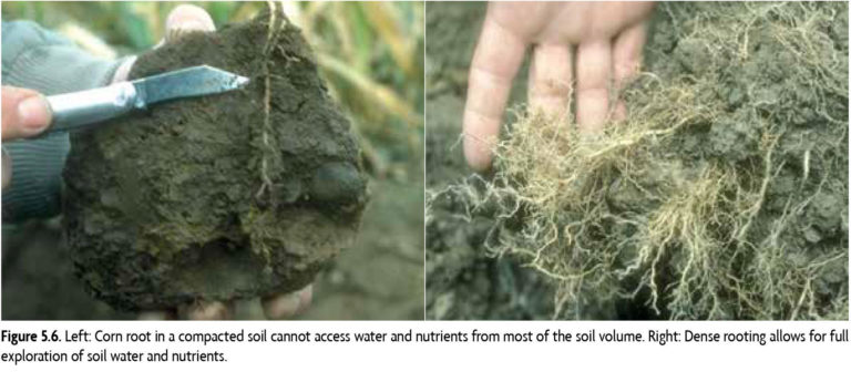 Left: Corn root in a compacted soil cannot access water and nutrients from most of the soil volume. Right: Dense rooting allows for full exploration of soil water and nutrients.