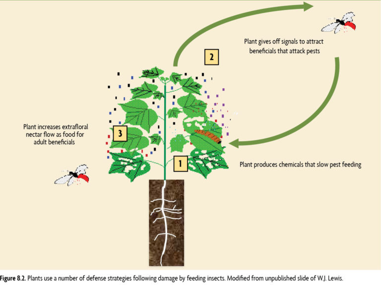 Plants use a number of defense strategies following damage by feeding insects. Modified from unpublished slide of W.J Lewis