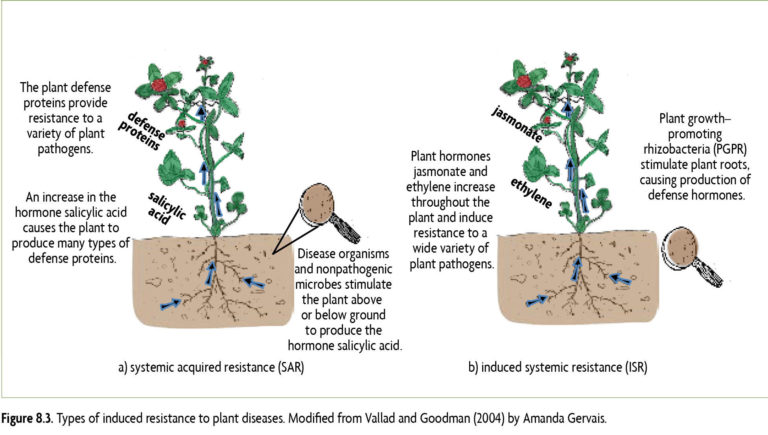 Figure 8.3 Types of induced resistance to plant diseases. Modified from Vallad and Goodman (2004) by Amanda Gervais.
