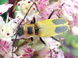 Coleoptera: Cantharidae Goldenrod Soldier Beetle   (Chauliognathus pennsylvanicus)