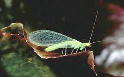 Neuroptera: Chrysopidae Green lacewing adult   (Chrysoperla carnea)