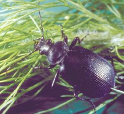 Coleoptera: Carabidae Ground beetle   (Calosoma sycophanta)