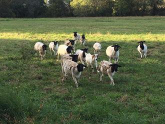 Dorper sheep running in a field