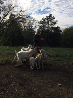 Farmer surrounded by goats
