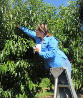 harvesting peaches