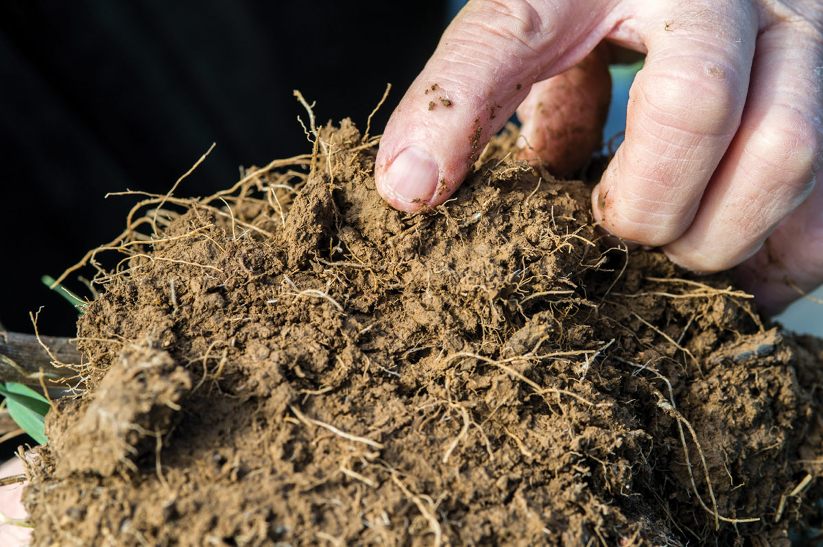 Roots of a cover crop