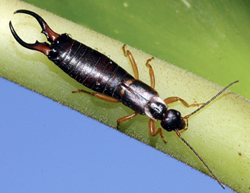 Dermaptera: Labiduridae Earwig