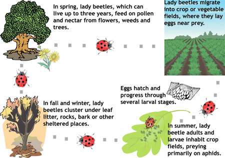 Lady Beetles follow food sources from field margins into cash crops over the course of the season.
