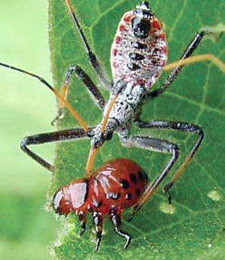 Hemiptera: Reduviidae Leafhopper assassin bug   (Zelus renardii)