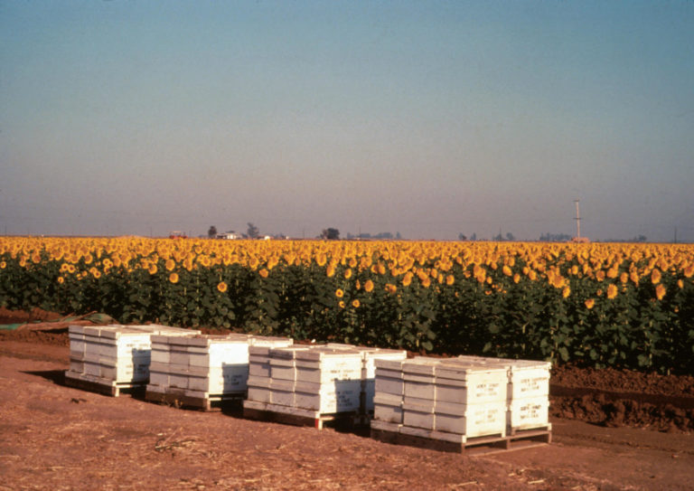 Figure 1.1. Honey bee hives placed near a sunflower field needing pollination. The estimated annual value of bee pollination to the US sunflower industry is $312 million.