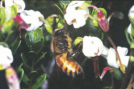 A honey bee pollinating a cranberry flower