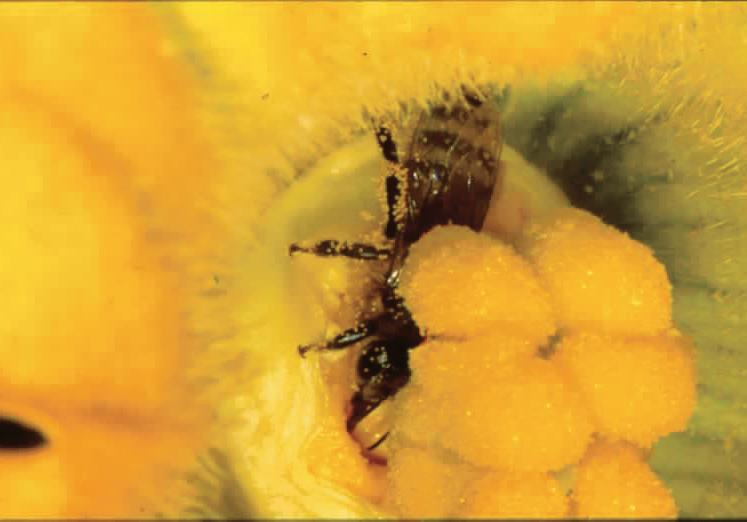 A squash bee gathering nectar from a zucchini flower.