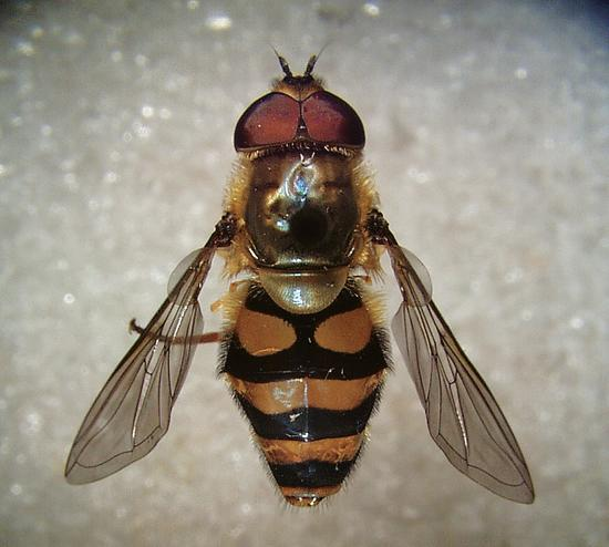 A dual-purpose beneficial insect: syrphid fly (Syrphus ribesii).