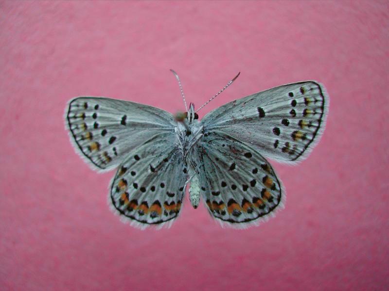 Karner Blue butterfly (Lycaeides Melissa-samuelis).